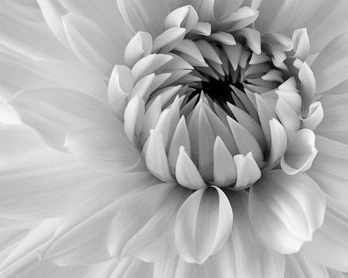 60 inspiring examples of black and white photography photography flowers and black