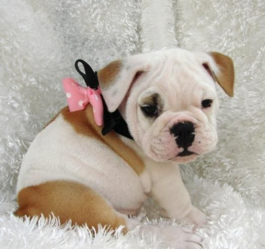 Everyone Needs A Girlie Girl Bulldog Puppies Dogs Puppies