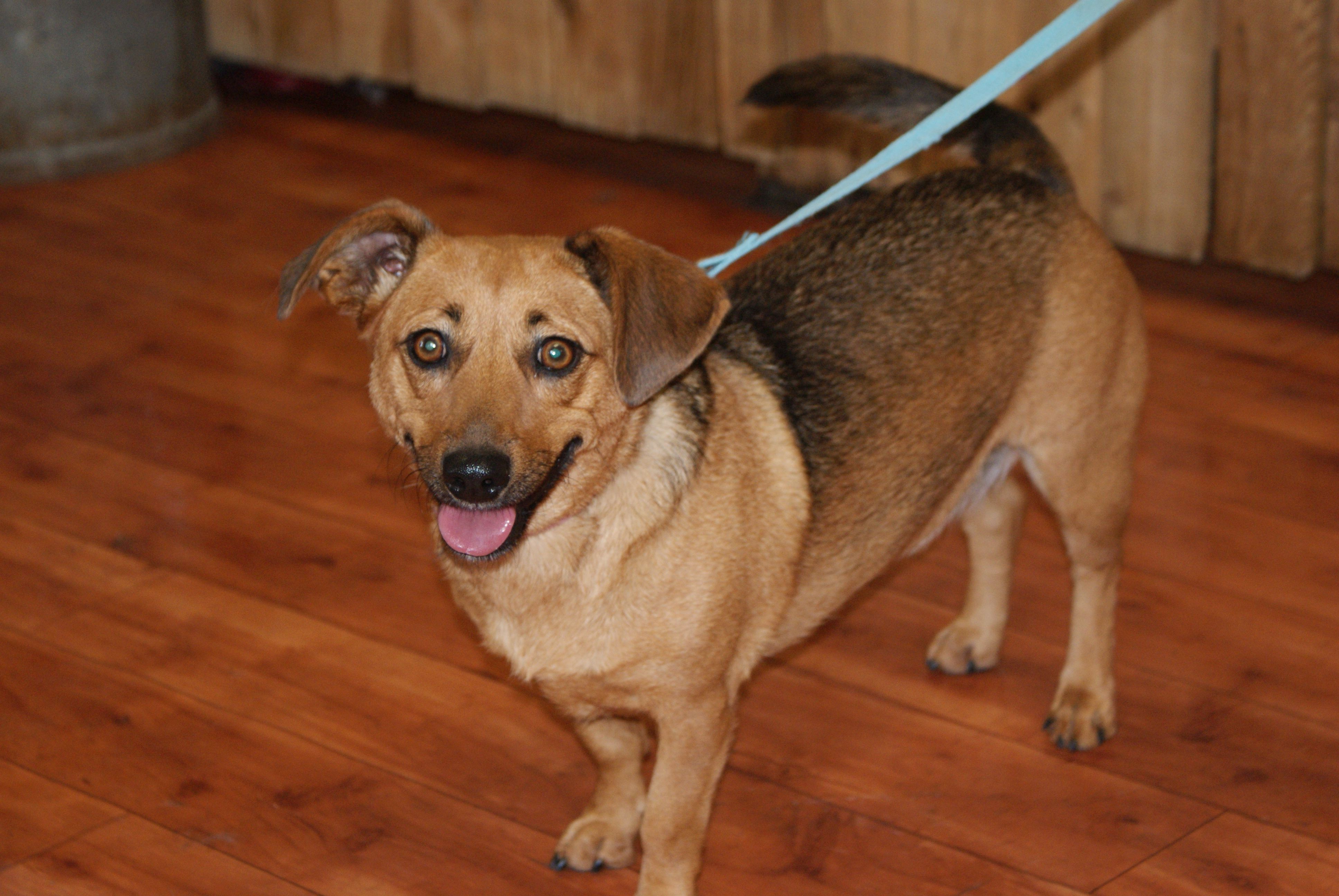 Happy girl, Gracie! She is a red heeler/daschund  mix. You can find more information about her on petfinder.com