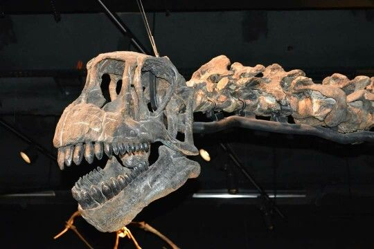 Crâne de Camarasaurus