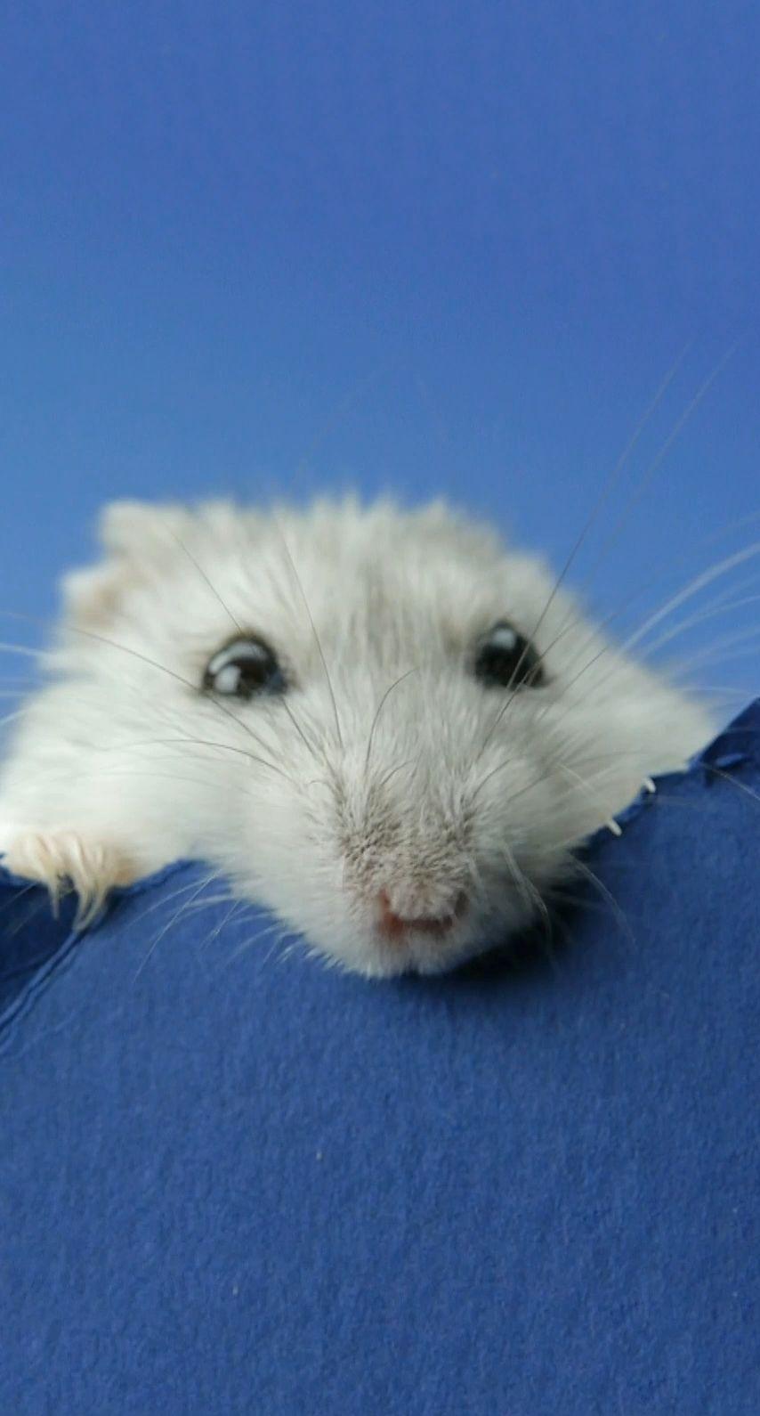 hamster live
