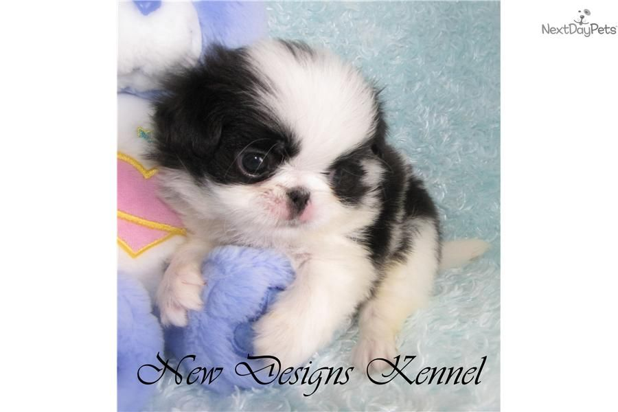 Meet Karl A Cute Japanese Chin Puppy For Sale For 600 Karl Newdesignskennel Com Video Japanese Chin Japanese Chin Puppies Puppies