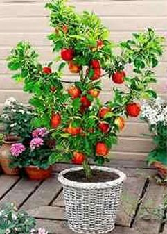 Add to your home garden by growing fruit in containers Applepear