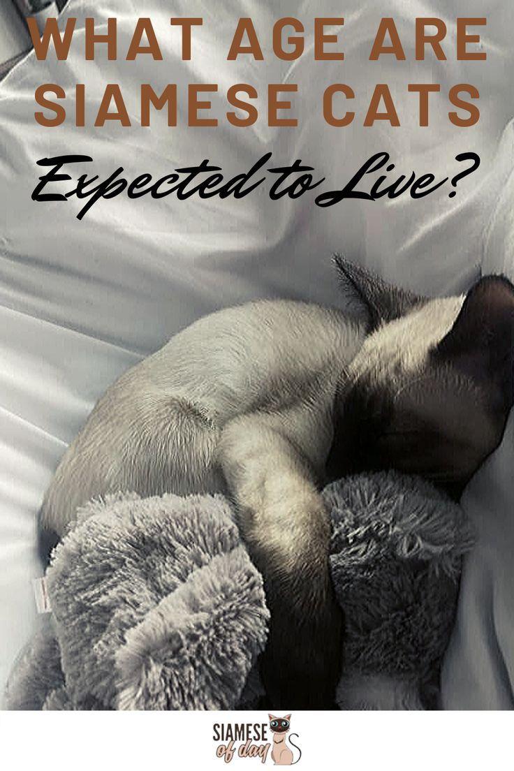 Siamese Cat Life Expectancy
