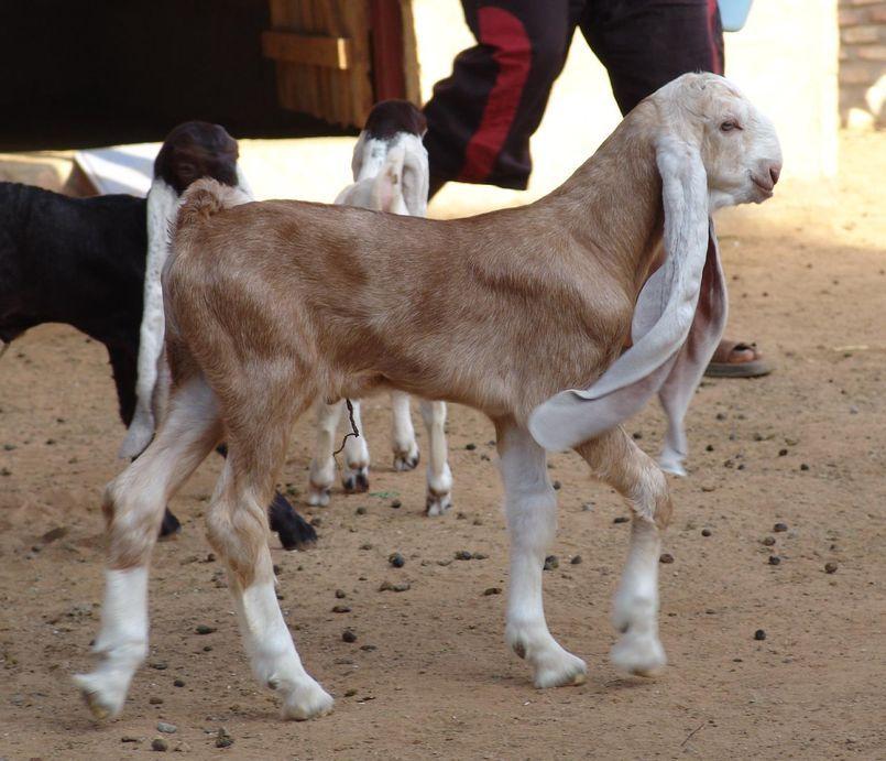 chèvre Hijazi Jordanie photo Naef hajaya (1) | We love goats