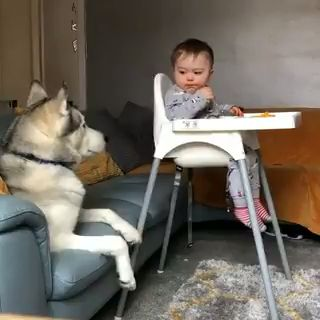 Cute baby, baby , dogs, cute dogs, fur balls, funny dogs , smart dogs, big dogs #dogs #baby #cute #smart #husky