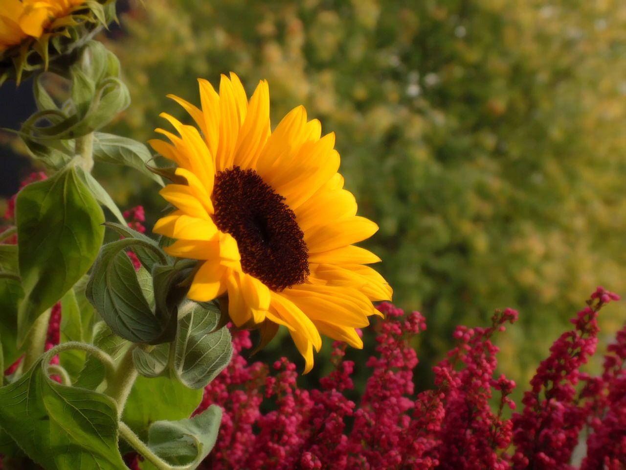 Sunflower Flower meanings, Flowers, Blossom garden
