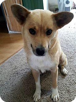 Fowlerville Mi Corgi Sheltie Shetland Sheepdog Mix Meet Foxy A Dog For Adoption Http Www Adopt Shetland Sheepdog Shetland Sheepdog Blue Merle Sheepdog