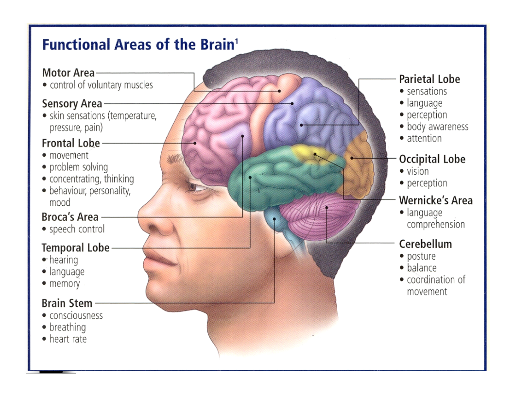 Functional areas of the brain. *Bulletin board | Introduction to ...