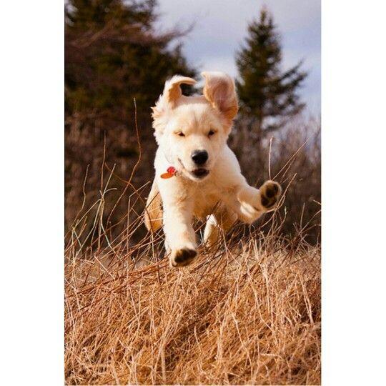 Reasons For Golden Retriever Jumping One Of The Most Common Reasons Your Golden Retriever Will Jump On Y Golden Retriever Puppy Cute Dogs Dogs Golden Retriever