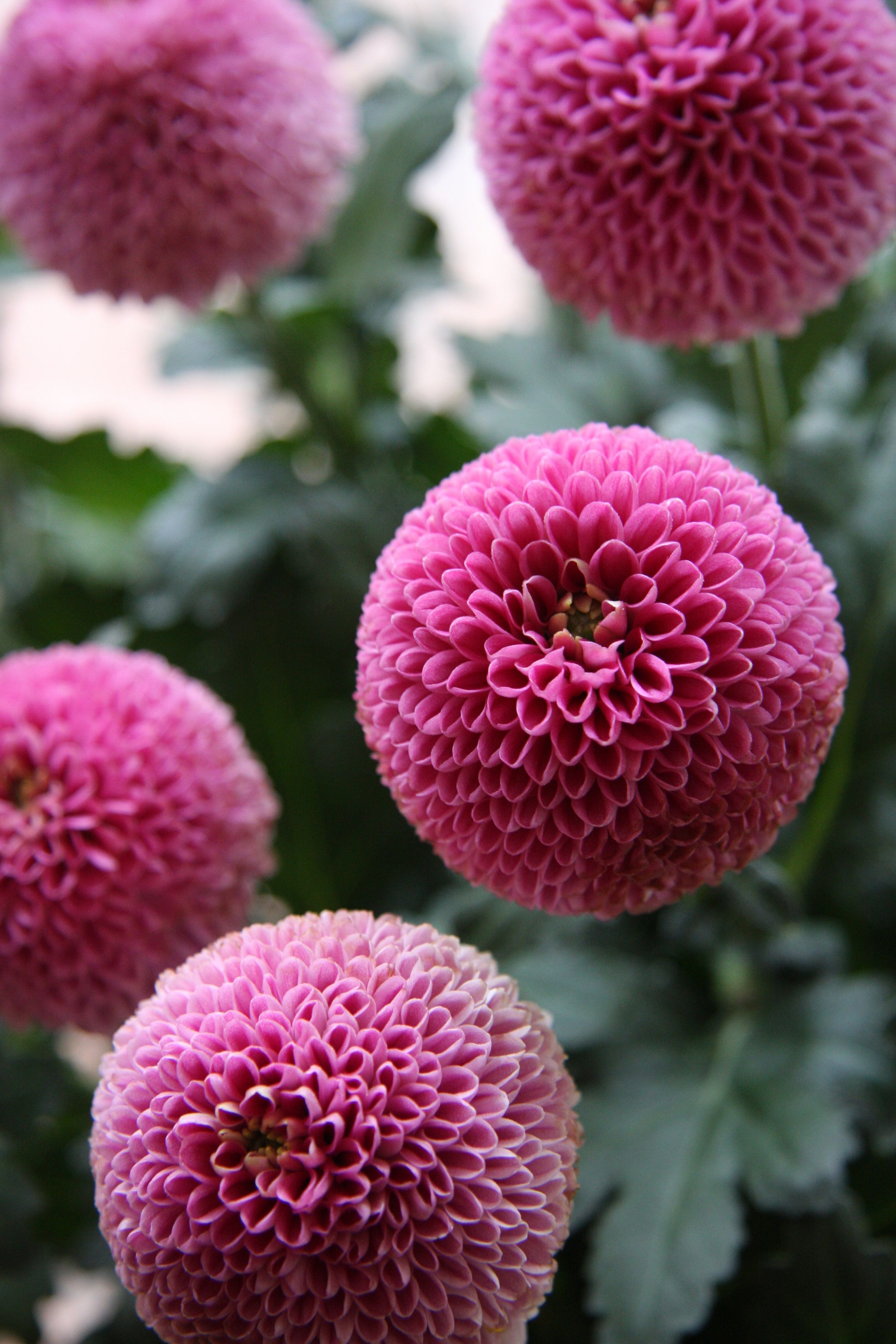 Mum Jenny Pink Flowers Pinterest Chrysanthemums Flowers And