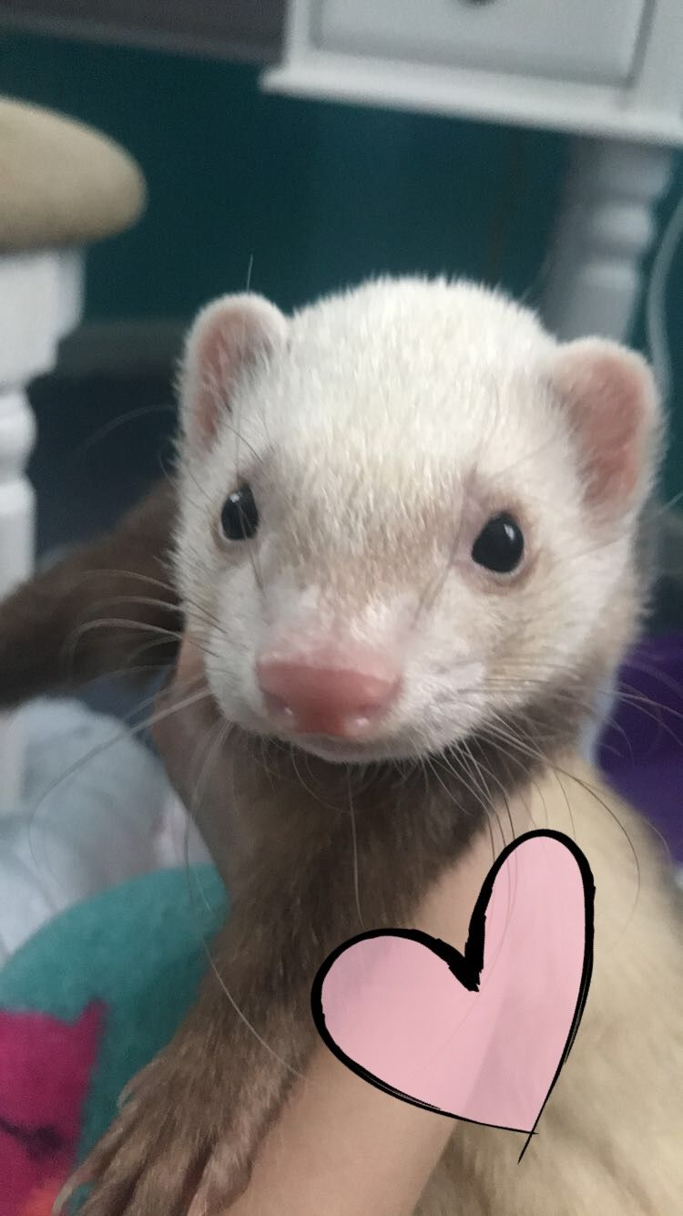 My Little Cinnamon Ferret Titan Ferret Pocket Pet Animals