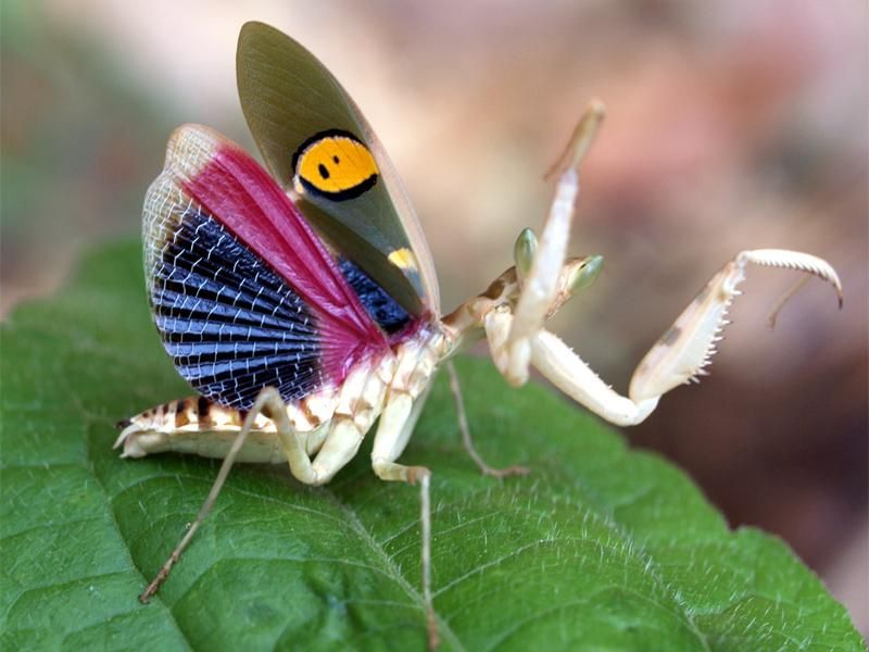 Blue Wing Mantis Creobroter Germmata Pixdaus Praying Mantis