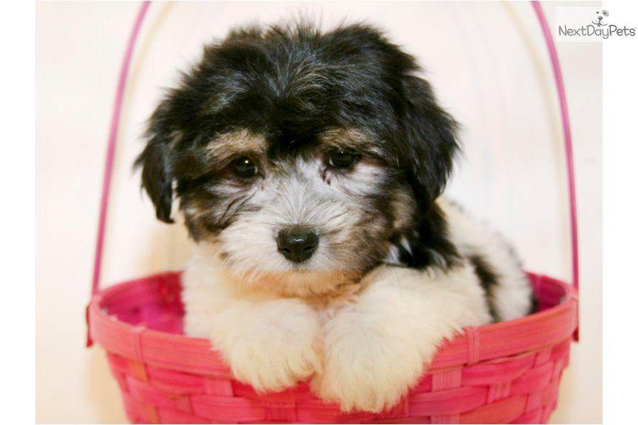Meet Paris a cute Havanese puppy for sale for 450. Paris