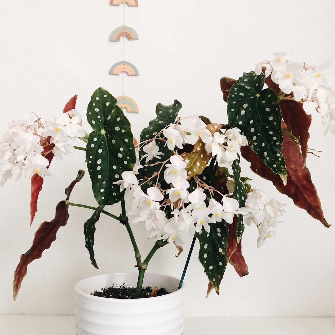 Foreverplanty Begonia Wightii In Full Bloom Those Beautiful White Flowers Just Keep Comin And I Love It Begonia Be Plants Hanging Plants Plant Decor