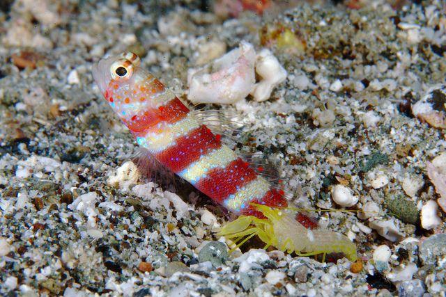 Shrimpgoby Family Pet Goby Fish Pet Training