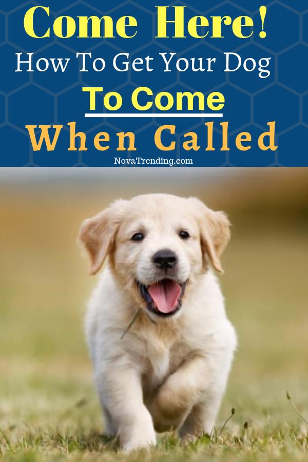 d845a4cf43976b6c75172b82559b7c6c - How Do You Get A Puppy To Come When Called
