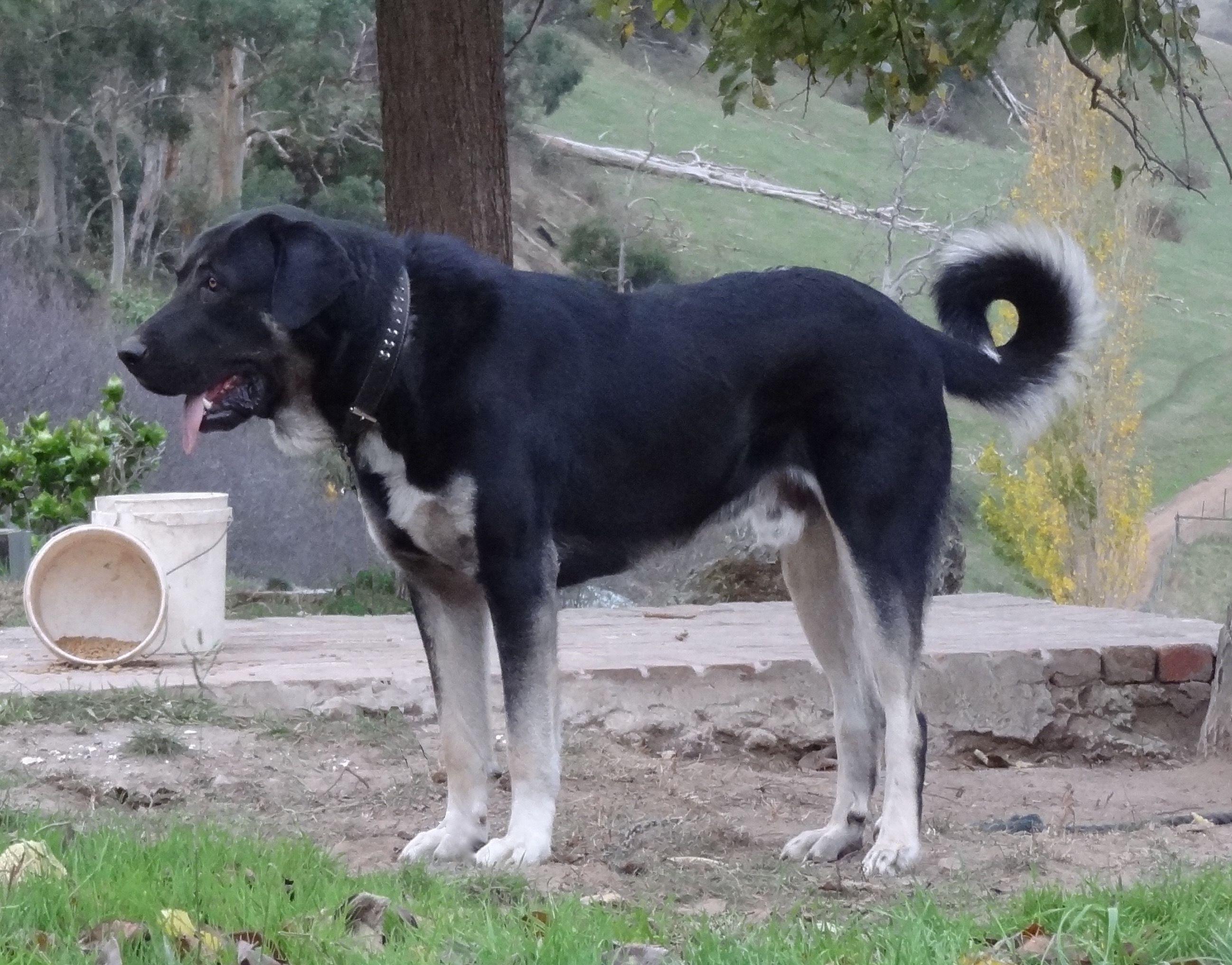 Black Anatolian Shepherd Dog Takas Rajah Kangal Dog Dogs Livestock Guardian Dog