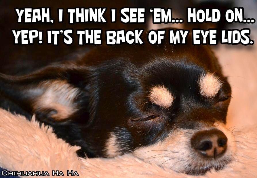 Sleepy Dog Spy Via Chihuahua Ha Ha On Facebook At Www Facebook Com Chihuahuahaha Sleepy Dogs Chihuahua Dogs