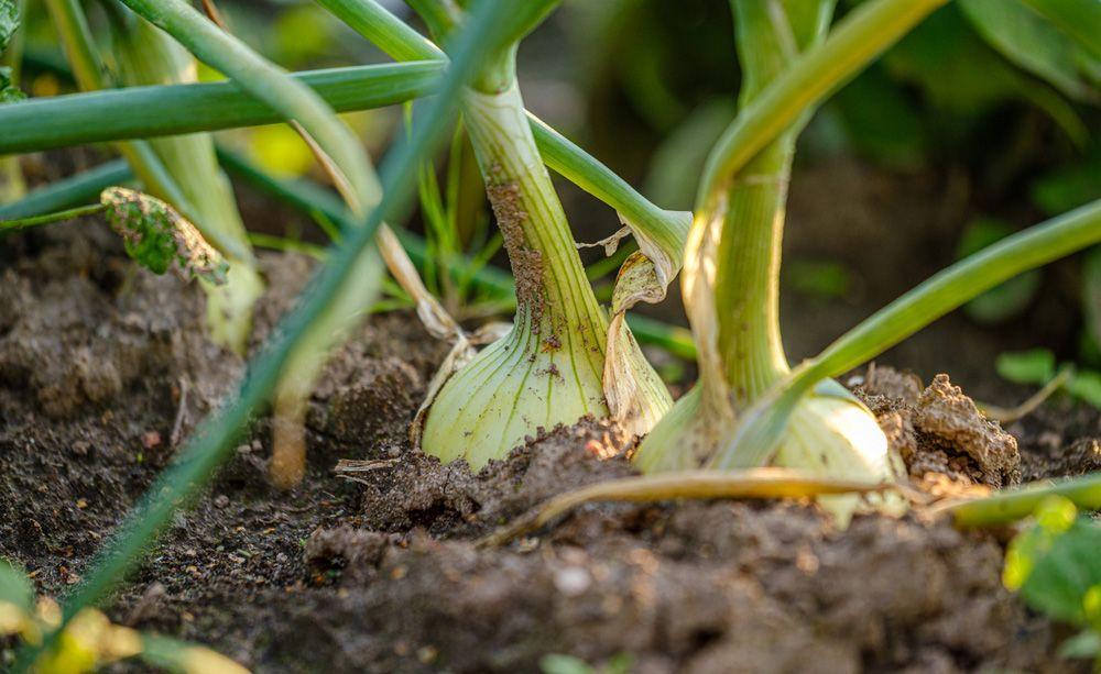 Zwiebeln Pflanzen Wichtige Tipps Zur Pflanzzeit Das Haus In 2020 Pflanzen Bauerngarten Gartentipps