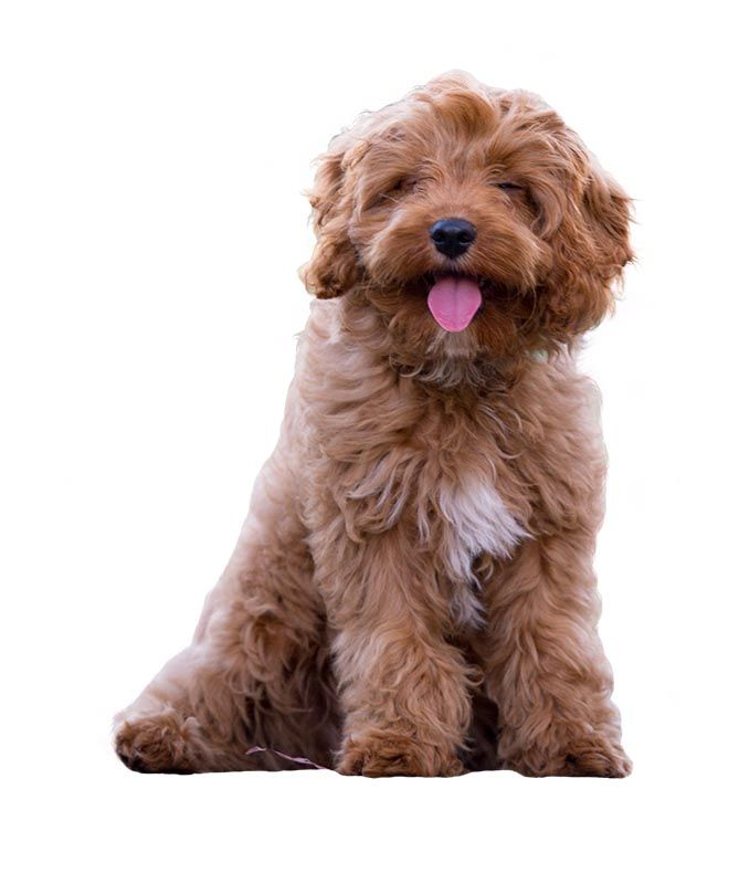 Cavoodle Breed Guide Small fluffy dog breeds, Fluffy