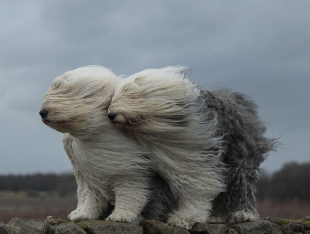 Image result for old english sheep dog