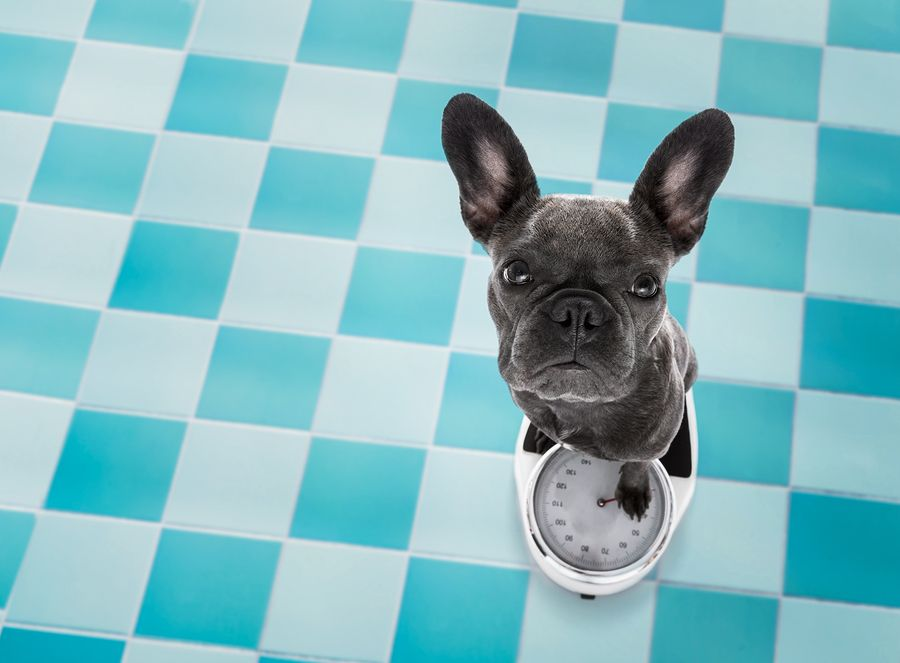 77 French Bulldog Growth Chart In 2020 French Bulldog Weight French Bulldog French Bulldog Information