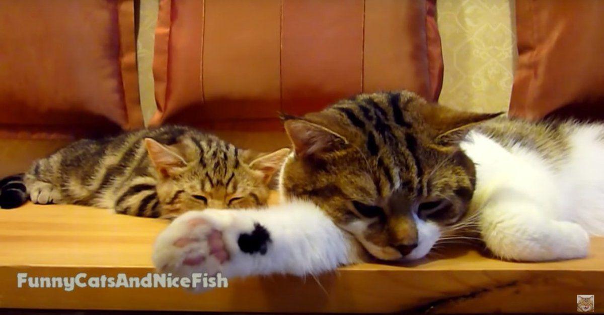 Sleepy Kitties And Sleepy Kitty Disruptors Sleepykitty Sleepy Kitties And Sleepy Kitty Disruptors Sleepykitty Sleepy Kitties And Sleepy Kitty Disruptor Sleepy Cat Kitty Baby Cats