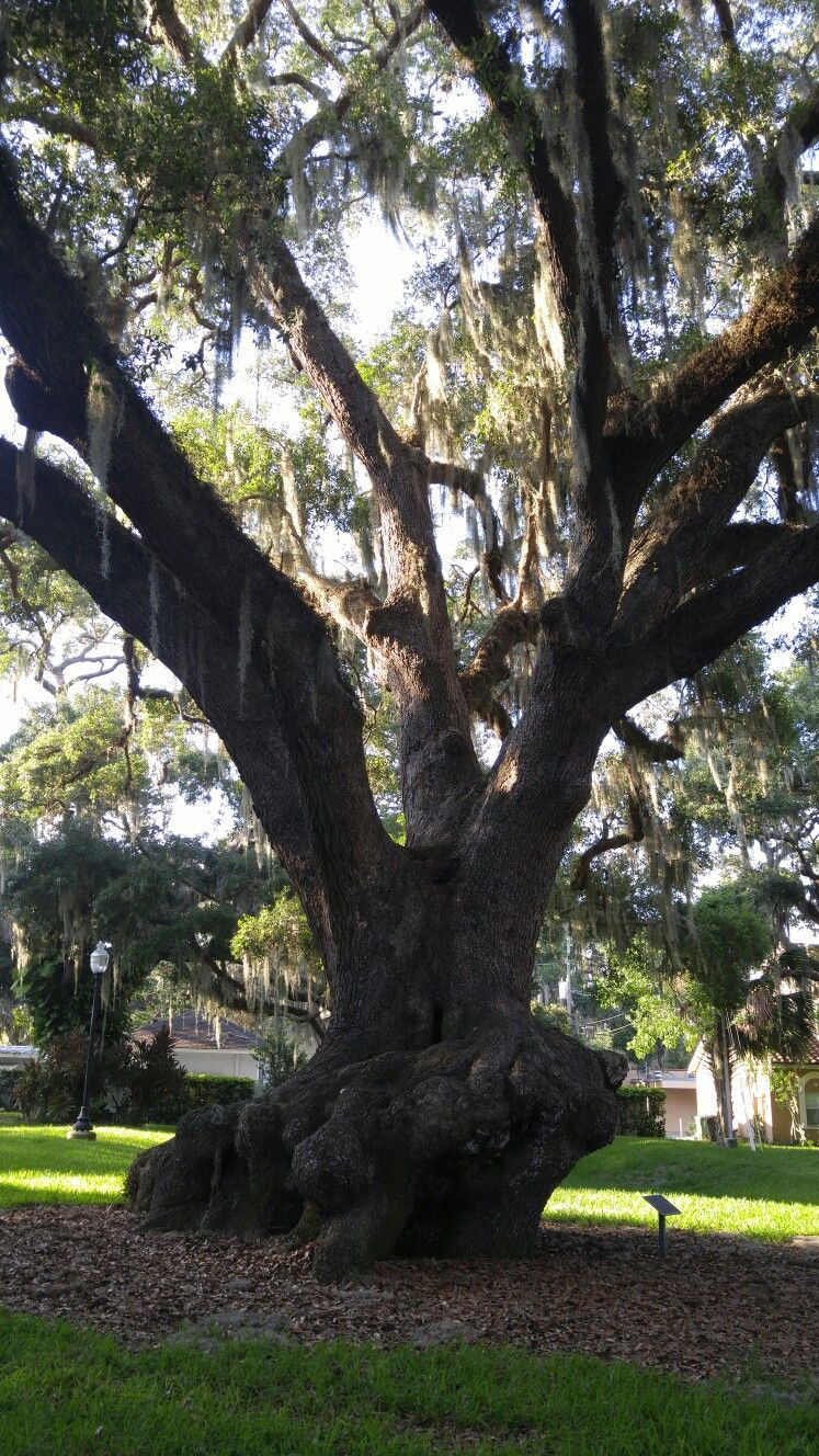 Big Beautiful Tree in Safety Harbor Florida. Safety
