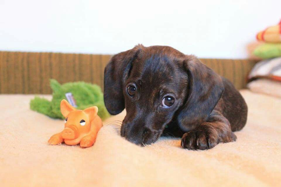 Beware Of This Doxie Look They Will Use It To Get Into Your Heart