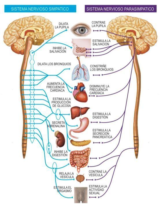 Pin de Jose Gomez en anatomia   Pinterest   Sistema nervioso ...