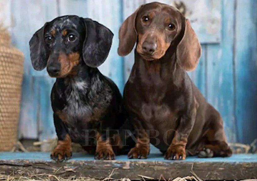 Pin On Dachshunds And Pets