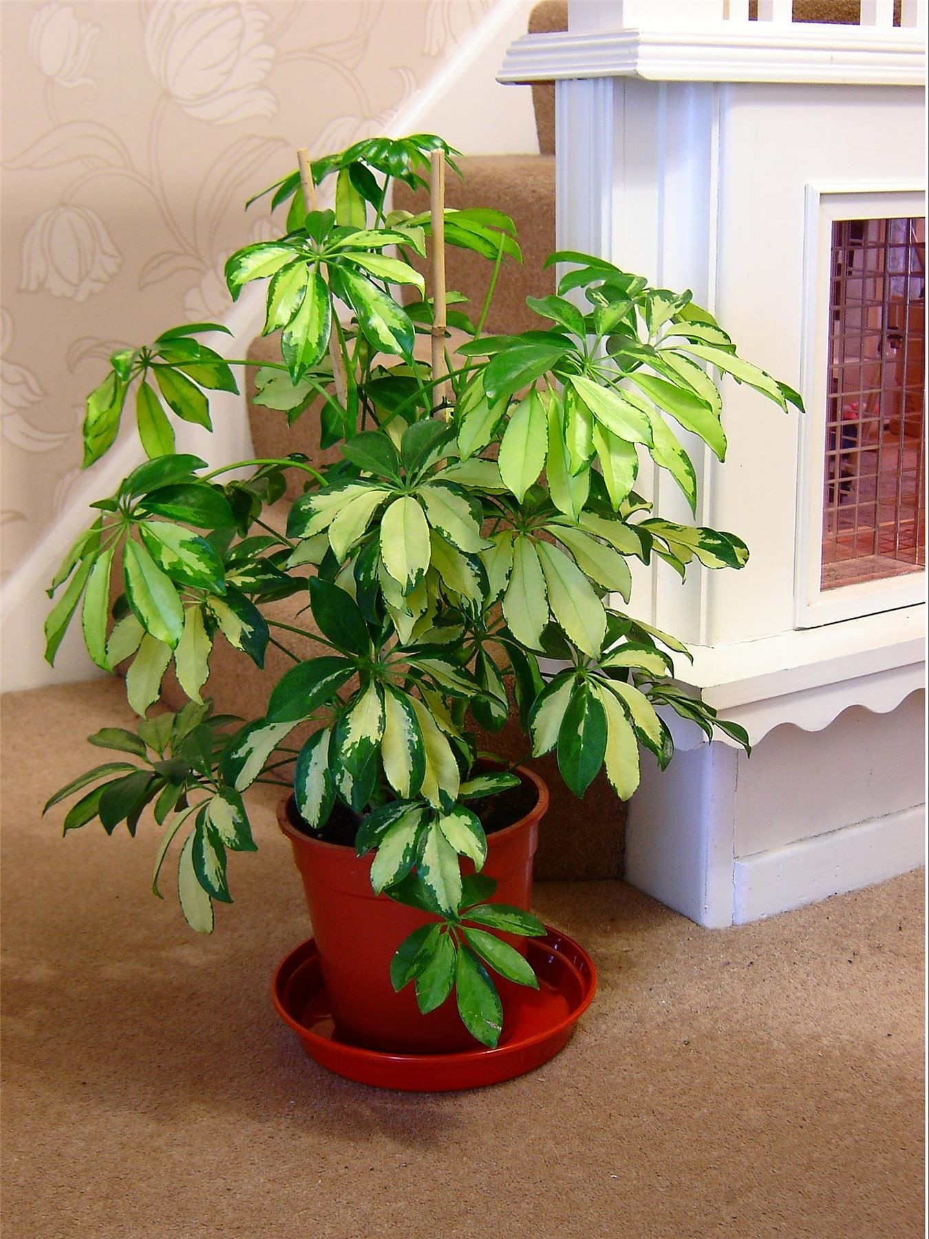 schefflera umbrella tree is trees shrubs liana flowering that can grown for tall indoor plant and - Tall Flowering House Plants