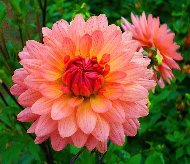 Mexican Natl Flowerthe Dahlia Is Mexico S National Flower It S Bright Colors Definitely Represent The Most Beautiful Flowers Beautiful Flowers Amazing Flowers