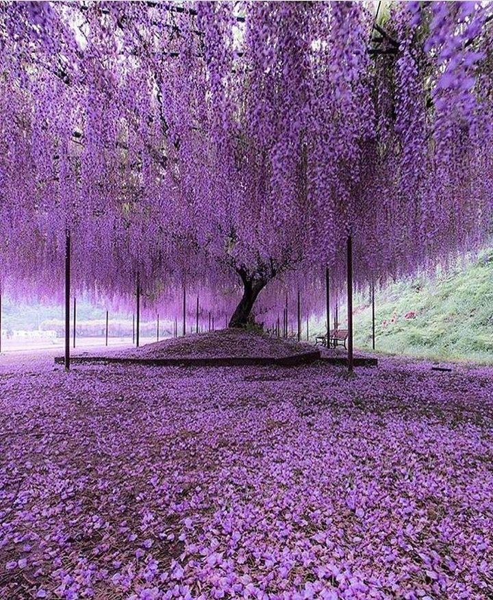 Ashikaga Flower Park Japan Japan Wonderfulplaces Amazingplaces Travel Travelgram Flowers Wisteria Tree Purple Wisteria Purple Trees