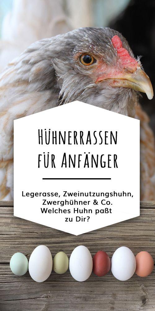 Hühnerrassen für Anfänger:  Welche Hühnerrassen legen viele und bunte Eier? Gibt es Hühner die sich gut für kleine Gärten eigenen?  Hier findest Du eine Liste von Zweinutzungsrassen, Zwergrassen und brutfreudigen Hühnerrassen. Dazu nützliche Angaben zur Legeleistung, Eifarben und Gewicht der Hähne. #kleinegärten