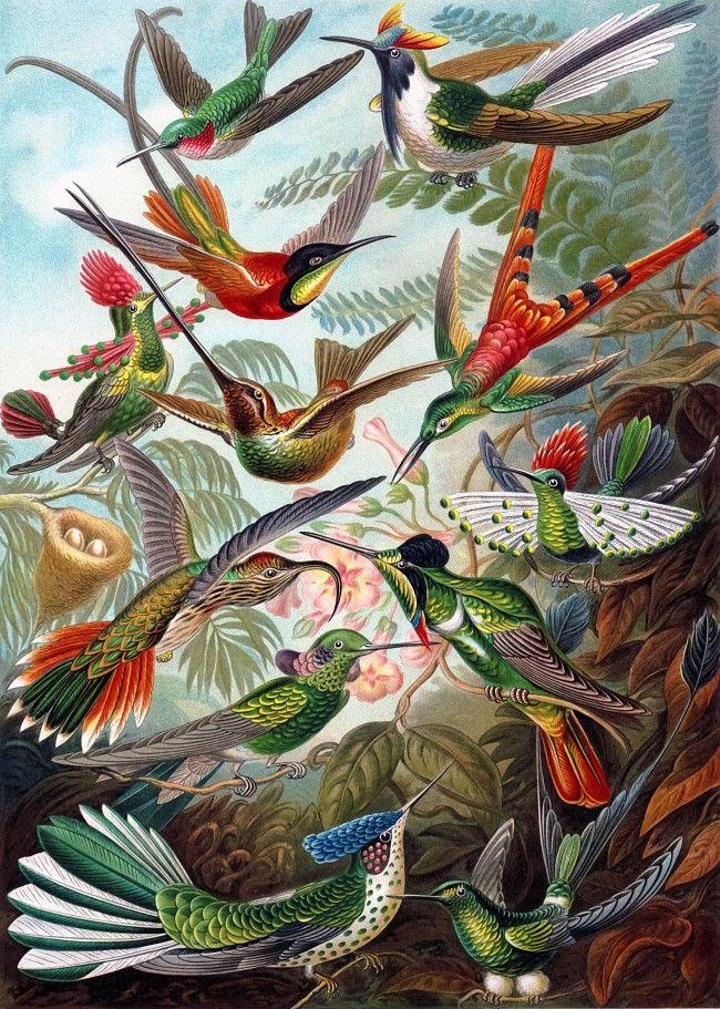 "Ernst Haeckel – Hummingbirds.   An illustration from Ernst Haeckel's ""Kunstformen der Natur"". Feel free to click and download the full sized version."