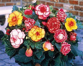 Pin By Leslie Haralson On Miscellaneous Plants Bulb Flowers Flower Seeds Annual Flowers