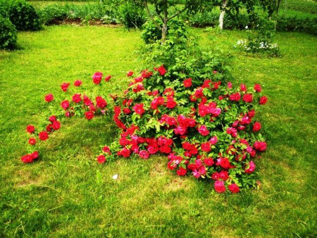 Лучшие сорта роз с фото и названиями   Розы, Цветы