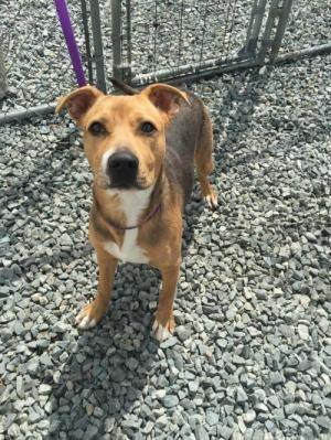 Adopt Keisha A Beagle Shepherd Female Beagle Adoption In