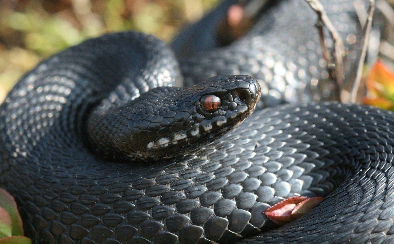 Melanistic Eurpoean Adder Adder Snake Reptiles Facts Melanistic
