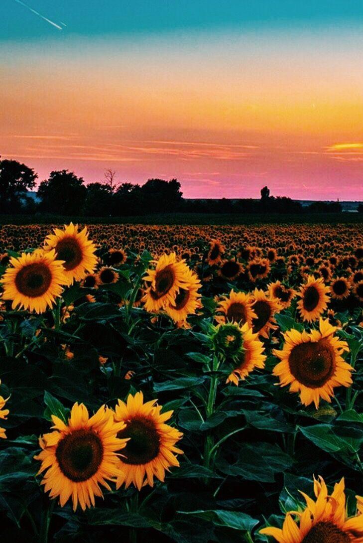 Vsco Sweetseasons Sunflower Wallpaper Beautiful Nature Yellow Flowers