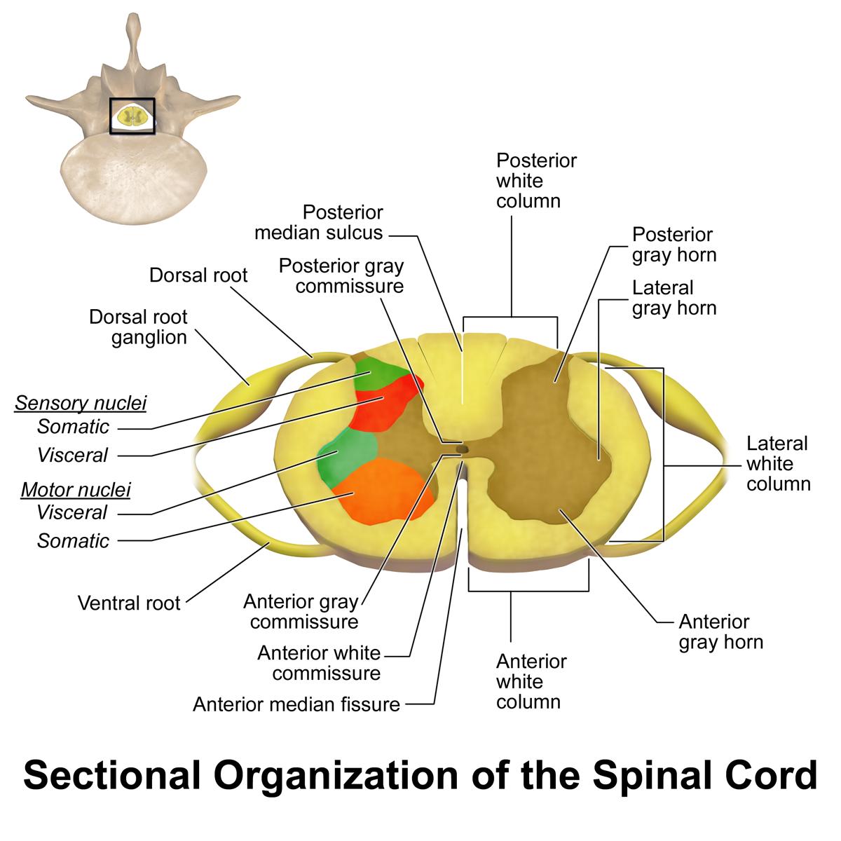 Spinal Cord Sectional Anatomy | Human Mechanics | Pinterest | Spinal ...