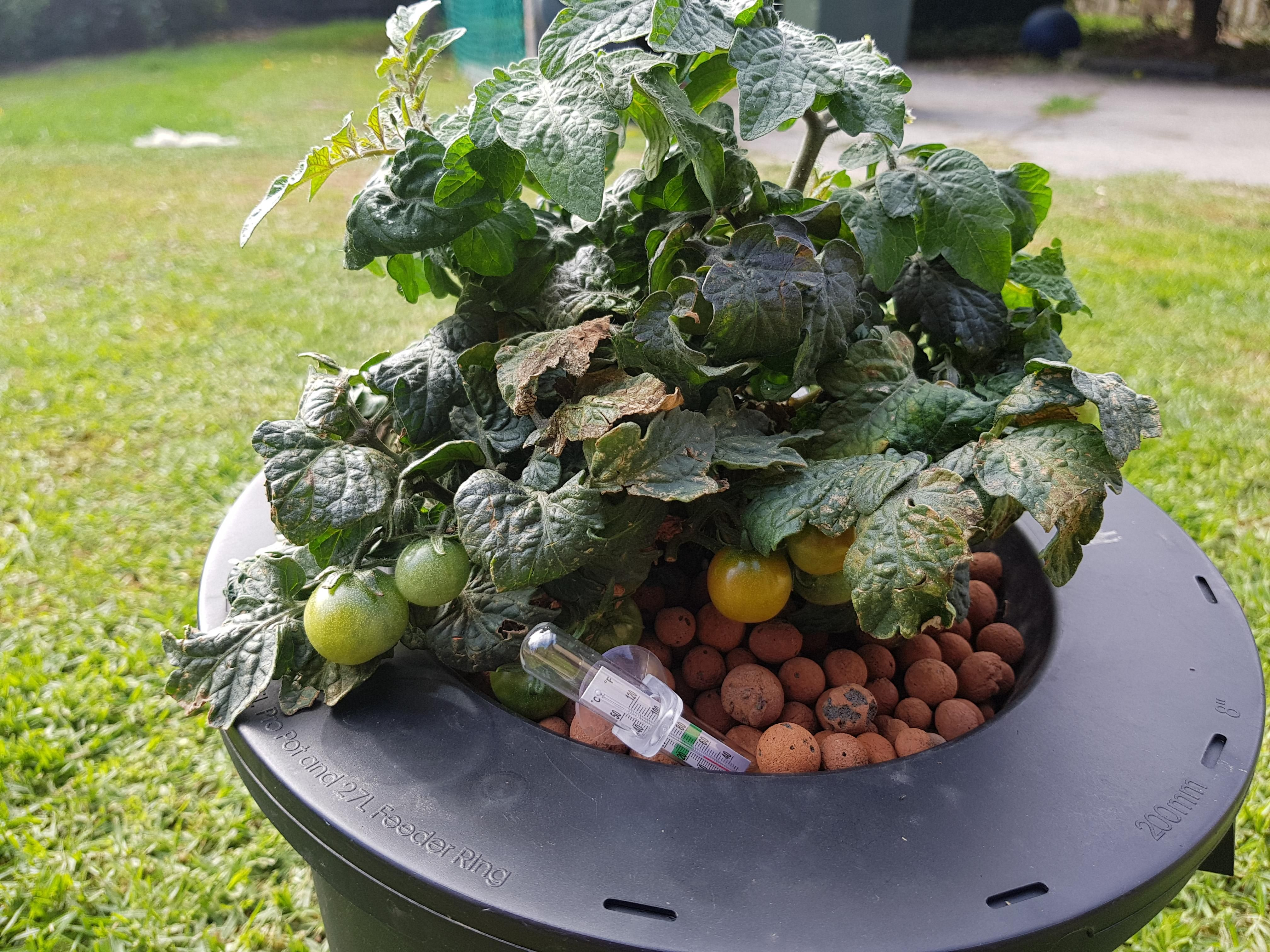 Rustlooking patches on indoor hydroponic tomatoes (Zone 3