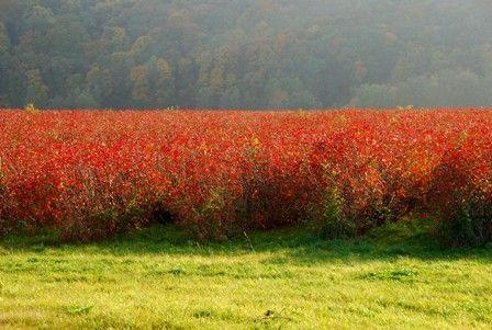 Die Aroniapflanze Die Aroniapflanze Ein Wissenswerter Uberblick Aronia Schrebergarten Plantage