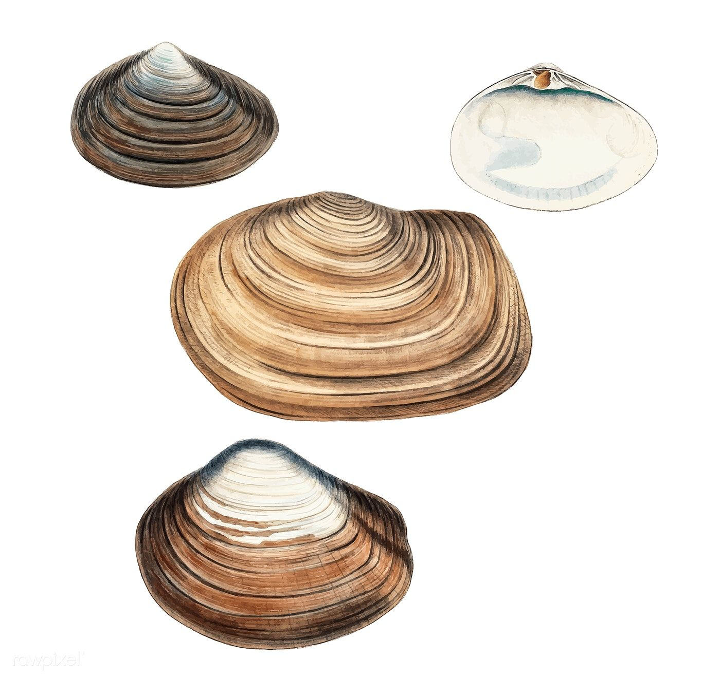 Clam Shell Varieties Set Illustration Free Image By Rawpixel Com Clams Crab Illustration Clam Shell