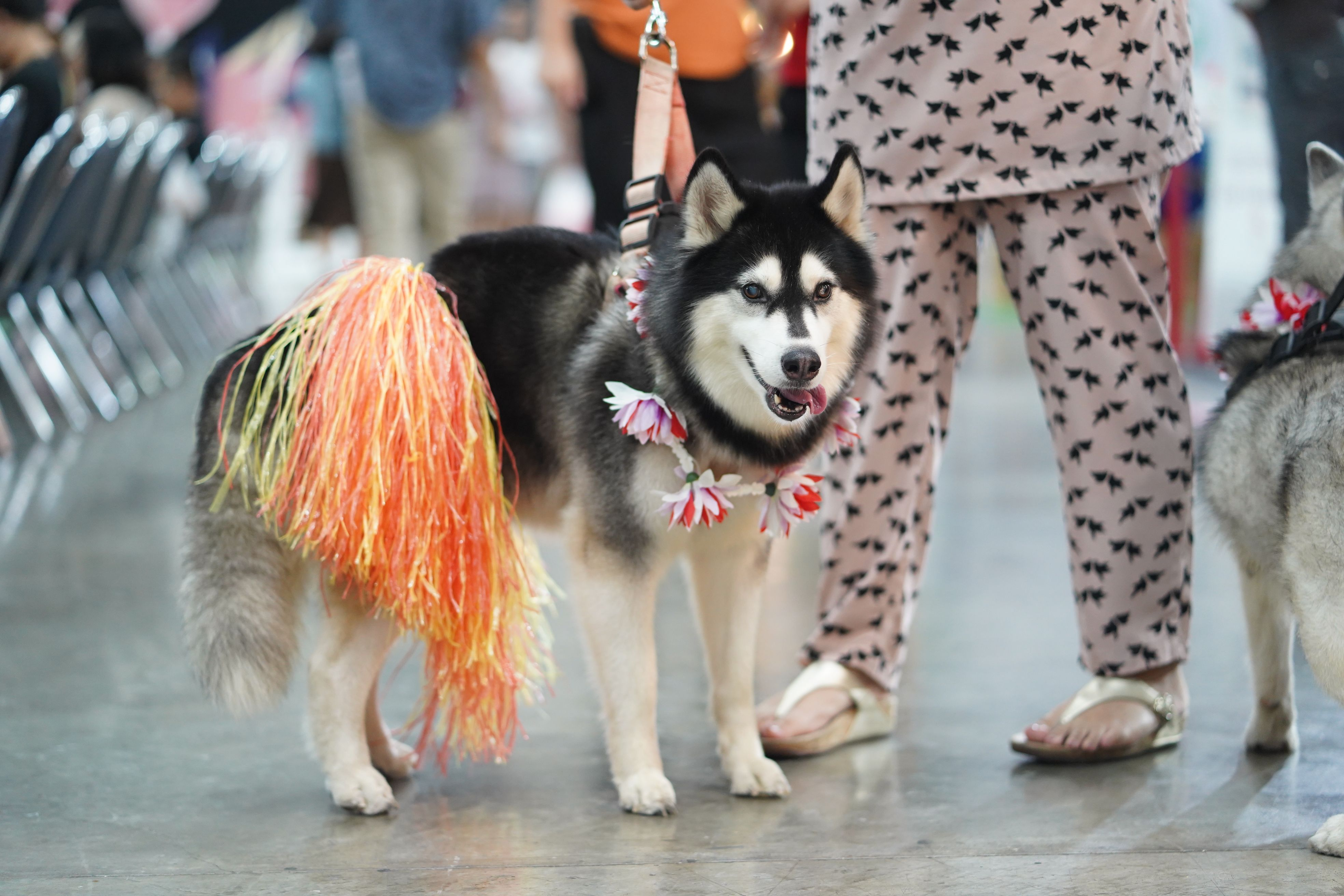 Siberian Husky Dog Lovers Siberian Husky Husky