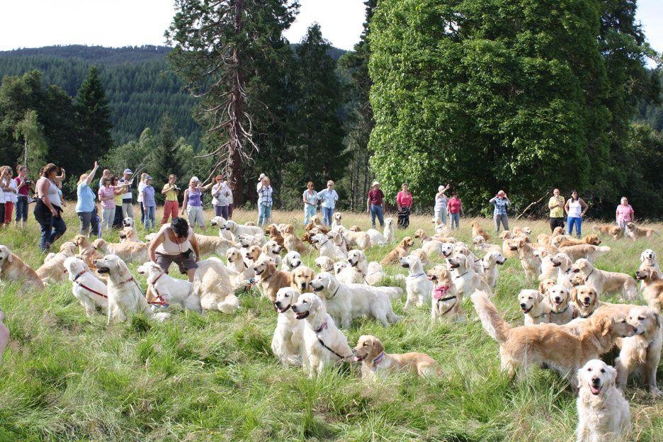 Golden Retriever Festival Scotland Oh My Dogs Golden