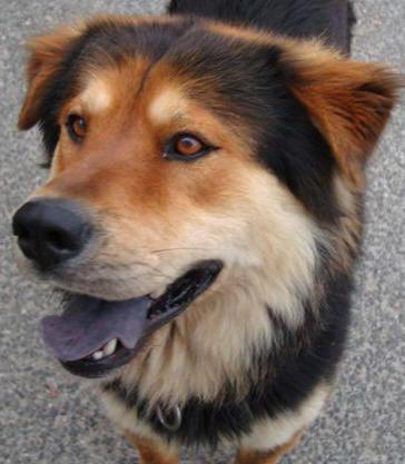 German Shepherd Samoyed Mix Google Search Unique Dog Breeds Dogs Golden Retriever German Shepherd
