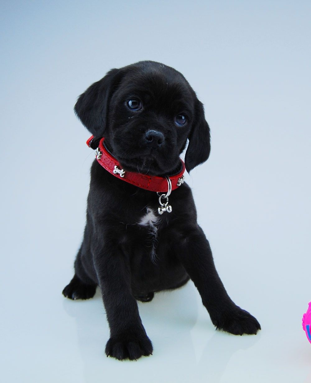 Curious black Puggle puppy | Just for Fun | Pinterest ...